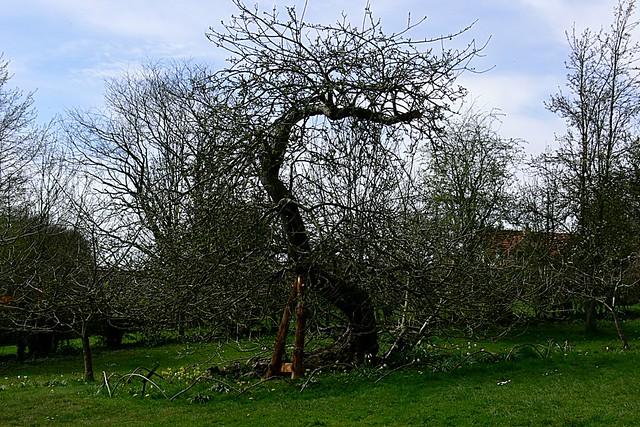 Sir Isaac Newton's Apple Tree | Woolsthorpe Manor ...