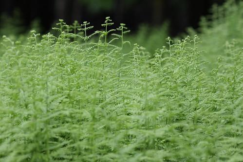 pennsylvania poconos ferns canon40d 135mmf2lens