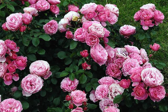 roses 4 a gallery on flickr. Black Bedroom Furniture Sets. Home Design Ideas