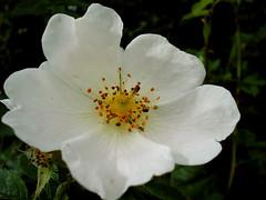 shrub(0.0), floribunda(0.0), blossom(1.0), flower(1.0), plant(1.0), rosa rubiginosa(1.0), macro photography(1.0), rosa canina(1.0), flora(1.0), rosa multiflora(1.0), rosa acicularis(1.0), rosa pimpinellifolia(1.0), petal(1.0),