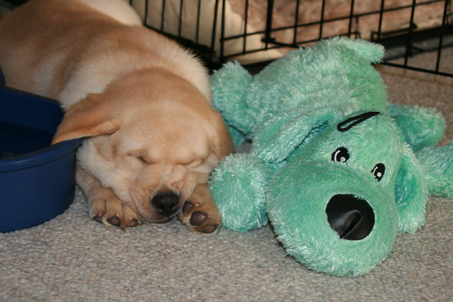yellow lab puppy sleeping - photo #25