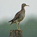 Upland Sandpiper - Photo (c) Jerry Oldenettel, some rights reserved (CC BY-NC-SA)