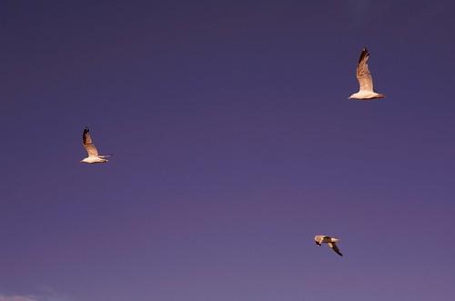 bird birds wisconsin flying gull gulls flight 55mm pan manualfocus f28 kenosha p2wy