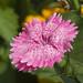 garofanino rosa