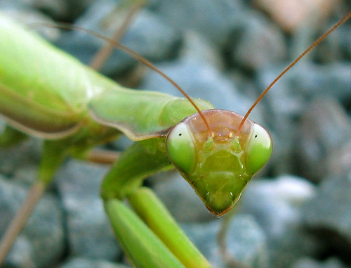 Beady eyed Preying Mantis