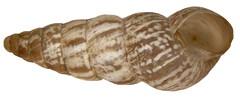 Cochlicella acuta (Müller, 1774)