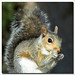 Tree Squirrels - Photo (c) Ian Junor, some rights reserved (CC BY-NC-ND)