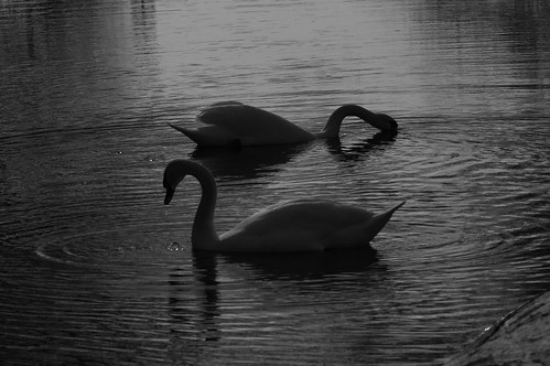Mute Swan Couple B&W