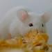 Small photo of Albino Mouse