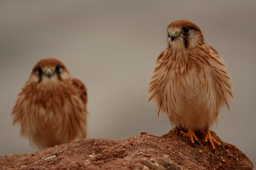 Nankeen Kestrel Twins 2