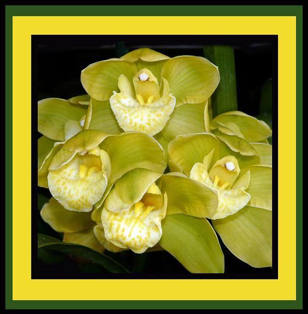 Cymbidium Eastern Star 'Kawano' hybrid orchid