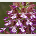 Lady Orchid - Photo (c) Anne SORBES, some rights reserved (CC BY-NC-SA)