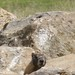Small photo of Alan Brooks Nature Centre--Sneaky Marmot