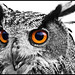Eagle Owl In High Contrast