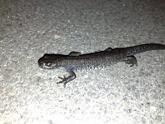 smooth newt, animal, amphibian, newt, salamander, reptile, lizard, fauna,
