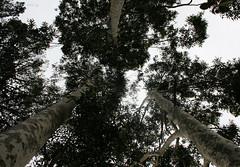 Tall Tree Trio