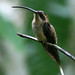 Western Long-tailed Hermit - Photo (c) David Cook Wildlife Photography, some rights reserved (CC BY-NC)