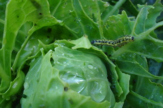 Caterpillar on cabbage