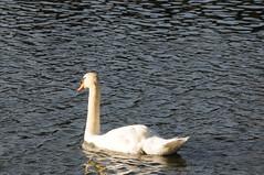 Cygne sur le Lac de Quintin