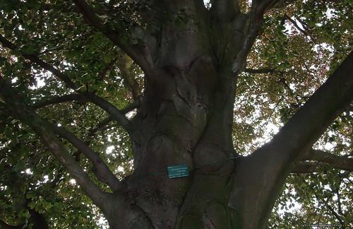 Grand arbre au bois de Vincennes