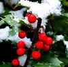 Holly Berry with Snow (cropped) by Dino Langis
