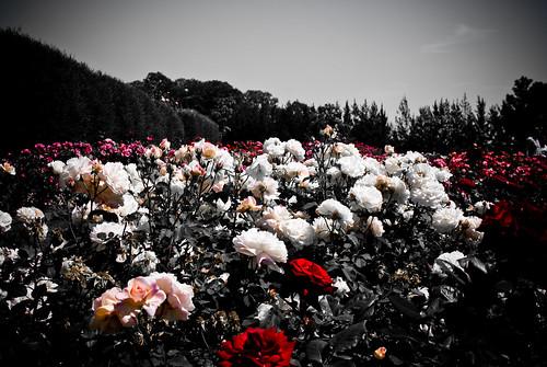 Jardines de rosas imagui for Cancion jardin de rosas