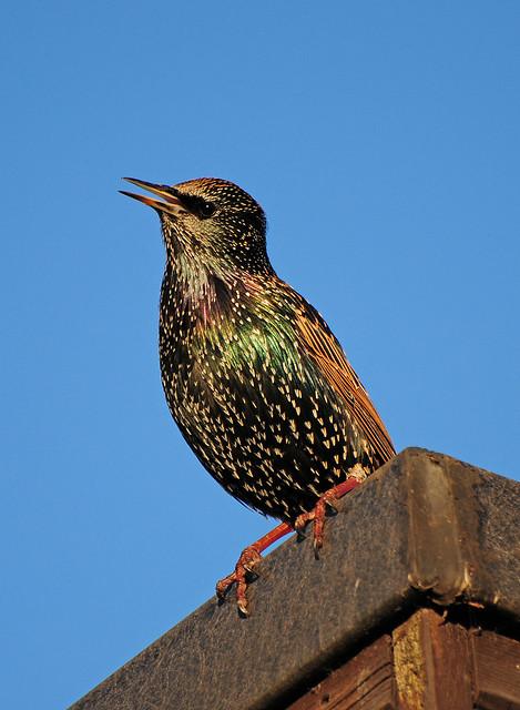 Starling (Sturnus vulgaris) Singing on a Rooftop