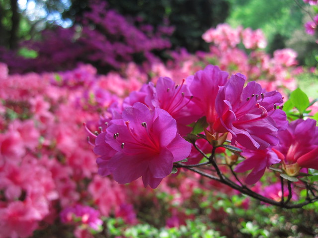 Azalea in bloom in the Osborne garden. Photo by Rebecca Bullene.