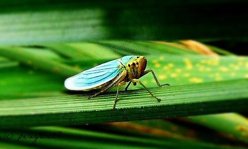 Cigarrinha (cicadella viridis)