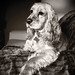Small photo of Regal Beagle