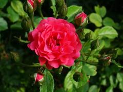 rosa rubiginosa(0.0), rosa acicularis(0.0), rosa wichuraiana(1.0), shrub(1.0), garden roses(1.0), rosa 㗠centifolia(1.0), floribunda(1.0), flower(1.0), rosa gallica(1.0), plant(1.0), flora(1.0), rosa multiflora(1.0), rosa rugosa(1.0), petal(1.0),
