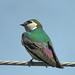 Violet-green Swallow - Photo (c) Len Blumin, some rights reserved (CC BY-NC-ND)