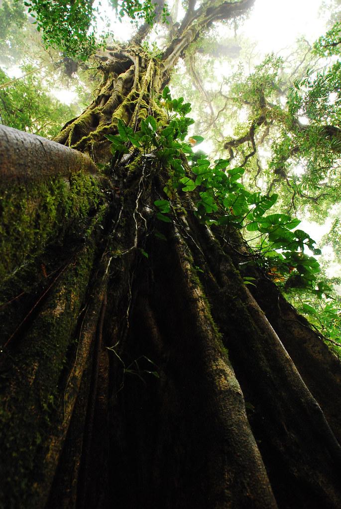 Ficus aurea en Reserva biológica Bosque Nuboso Monteverde, Costa Rica.