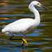 Snowy Egret - Photo (c) Nick Chill, some rights reserved (CC BY-NC-SA)