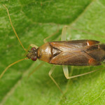 mogyorópoloska - Phylus coryli