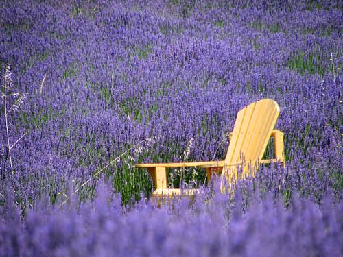 california ca flowers green purple farm lavender atascadero acres canons3 greenacreslavenderfarm