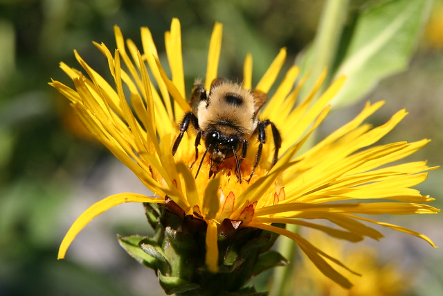 Cute Fuzzy Bumble Bee | Flickr - Photo Sharing!