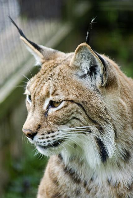 Big cats Lynx | Flickr - Photo Sharing!
