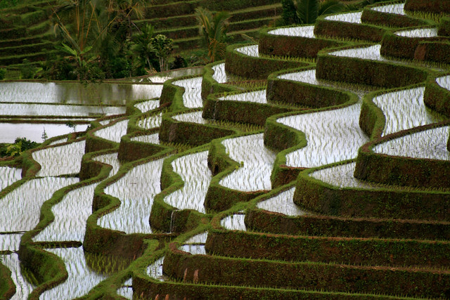 Bali rice fields.
