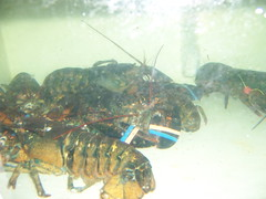homarus(0.0), american lobster(0.0), spiny lobster(1.0), animal(1.0), crustacean(1.0), seafood(1.0), marine biology(1.0), invertebrate(1.0), fauna(1.0), food(1.0),