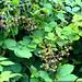 blackberries growing alongside the train tracks in lake oswego   DSC01719