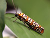 Ailanthus Webworm Moth - Photo (c) Lisa Brown, some rights reserved (CC BY-NC)