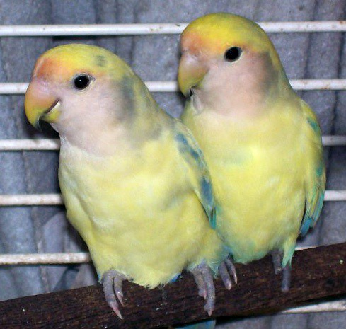 Lutino Pied Lovebirds Flickr Sharing