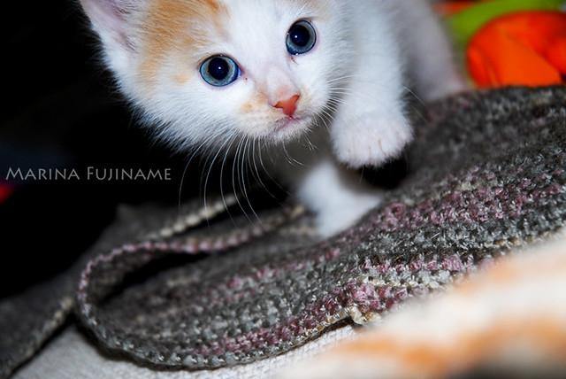 Blue Velvet Cat