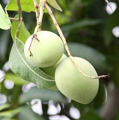 mangga by ajailani