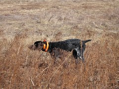 pointer(0.0), animal(1.0), prairie(1.0), dog(1.0), pet(1.0), mammal(1.0), fauna(1.0), hunting dog(1.0),