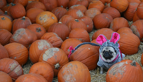 The Pugkin Patch