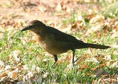 Amarillo Birds