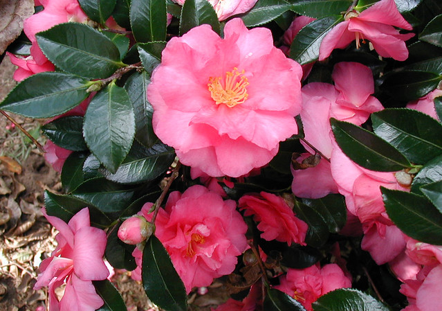 Fall Flowering Shrub This Shrub Awaits Identification