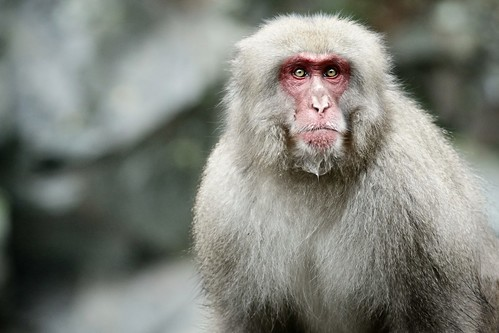 snow monkey - alpha male